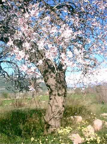 Reisen zur Mandelblüte auf Mallorca